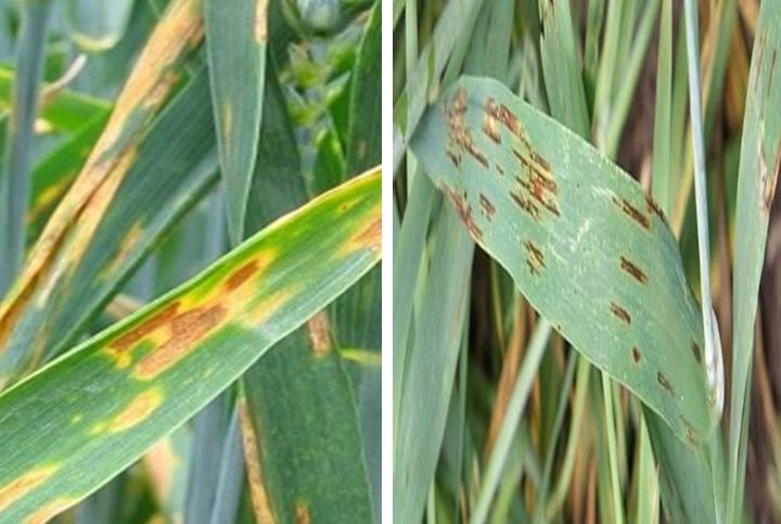 Болезни семян кукурузы