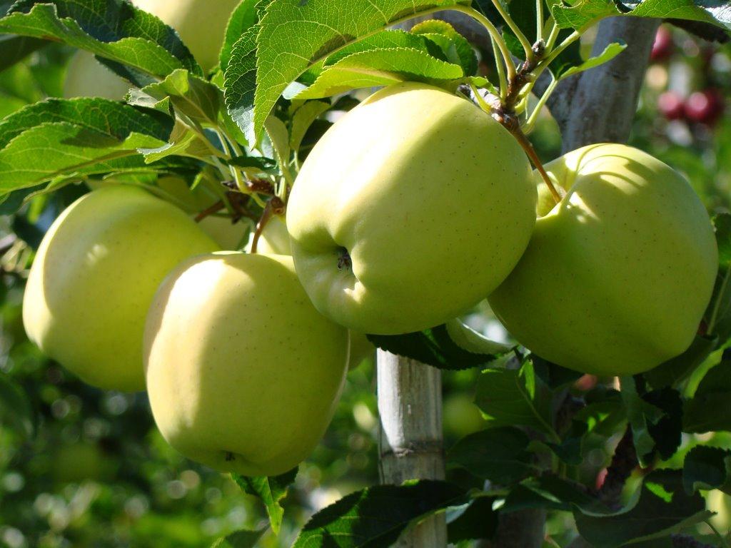 Сорт яблок «голден делишес»: характеристика, агротехника выращивания