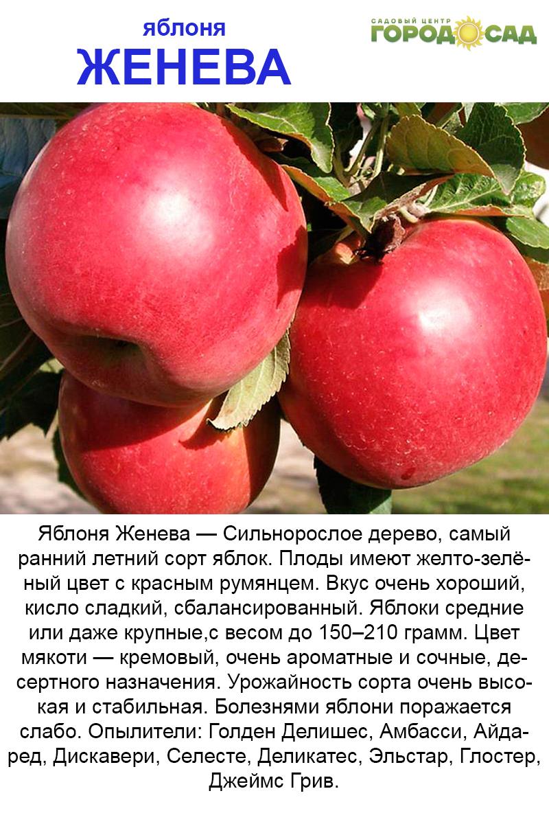 Описание и характеристики сорта яблони вишневое, посадка и выращивания - всё про сады