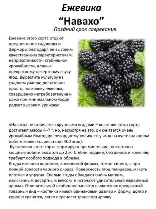 Самые урожайные сорта ежевики для подмосковья, средней полосы россии
