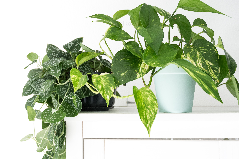Растение сциндапсус в домашних условиях, виды, сорта и размножение