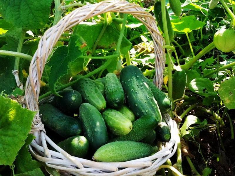 Как увеличить урожай огурцов: способы, эффективные методы, подкормки