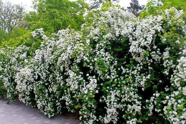 Жасмин садовый: посадка, уход, размножение, болезни   фото