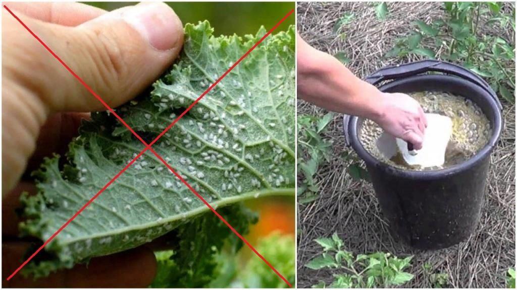 Как избавиться от белокрылки в теплице – эффективные способы борьбы