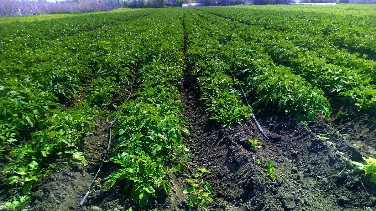 Когда и чем подкормить картофель: виды подкормки и сроки