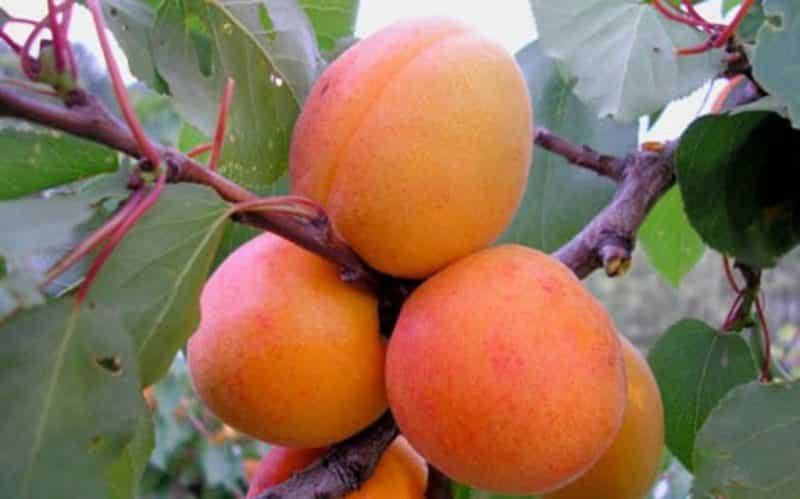 Описание лучших сортов колоновидного абрикоса принц март, звездный, правила посадки и ухода