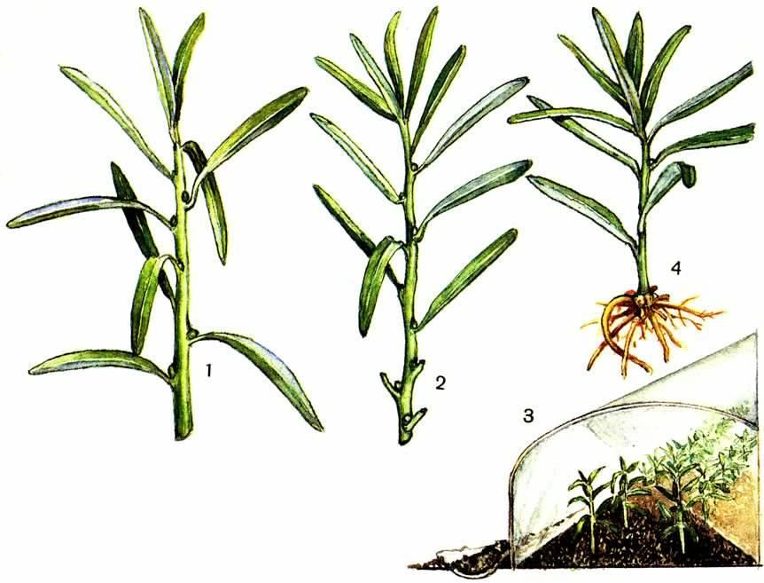 ᐉ выращивание эстрагона из семян: как сажать тархун на даче в открытый грунт таким способом, как ухаживать за травой, а также фото посевного материала и всходов - orensad198.ru