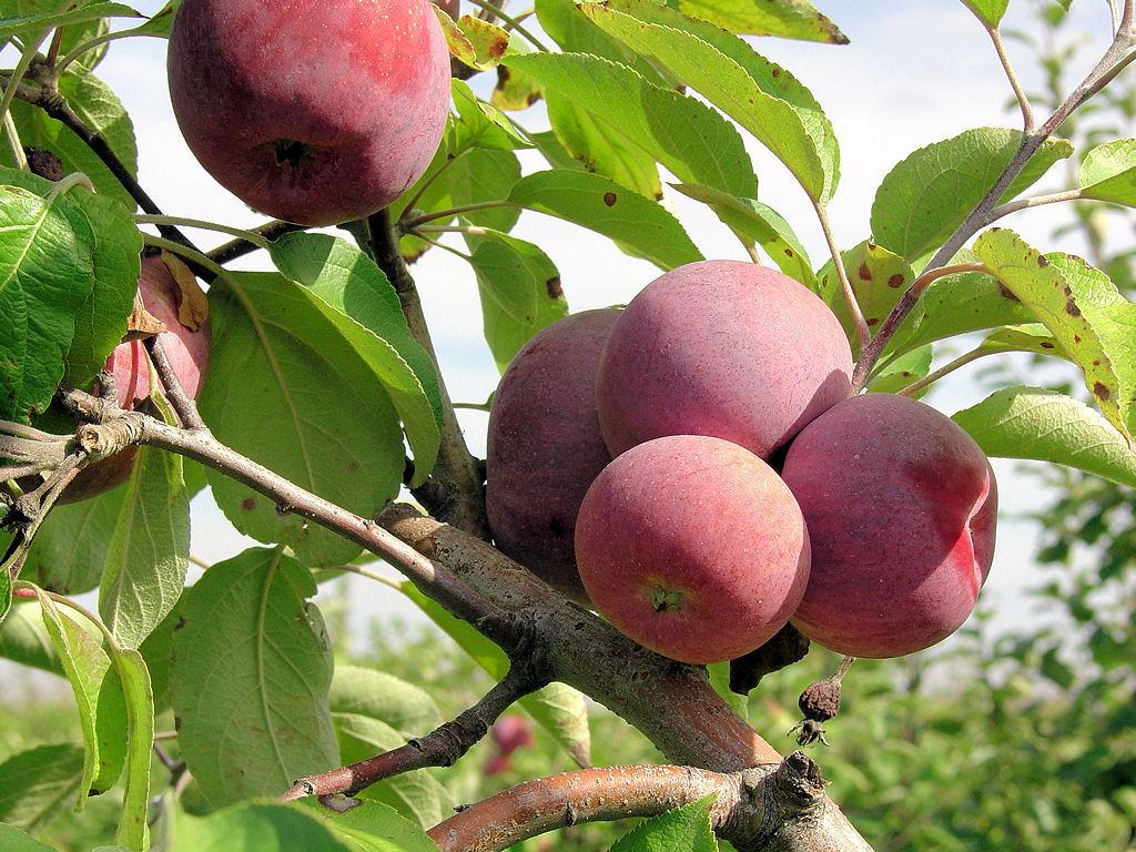 Яблоня заветное: описание сорта, фото, отзывы садоводов