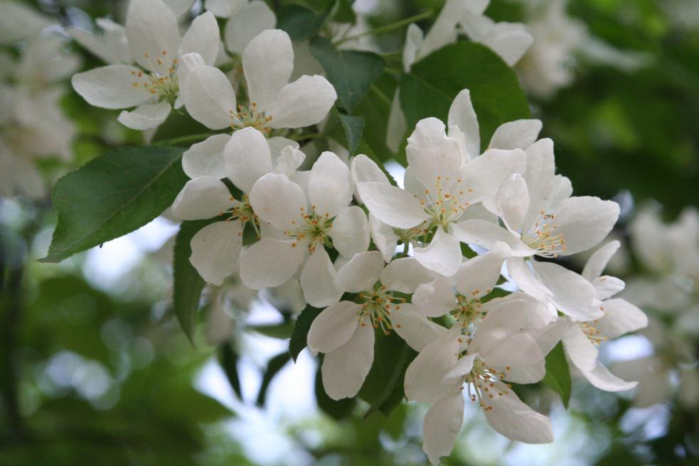 Омолаживающая обрезка чубушника: группа декоративные деревья и кустарники