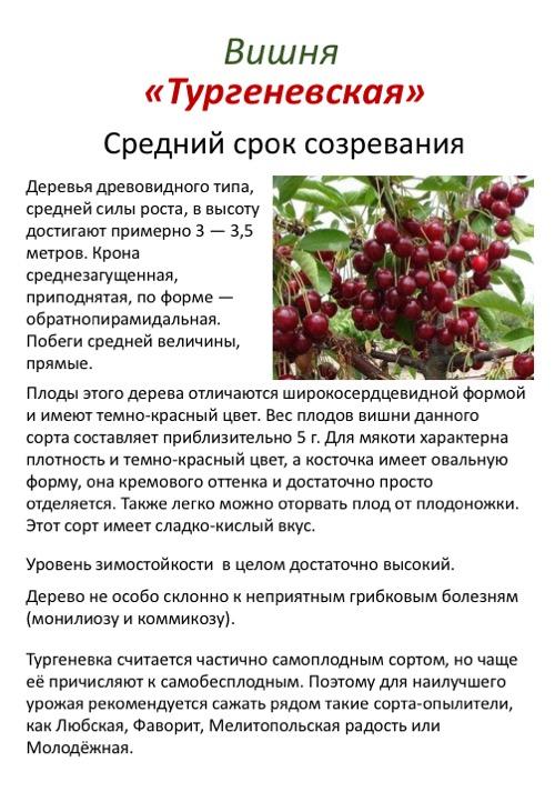 Сорта вишни (фото с названием и описанием, опылители) сорта вишни (фото с названием и описанием, опылители)