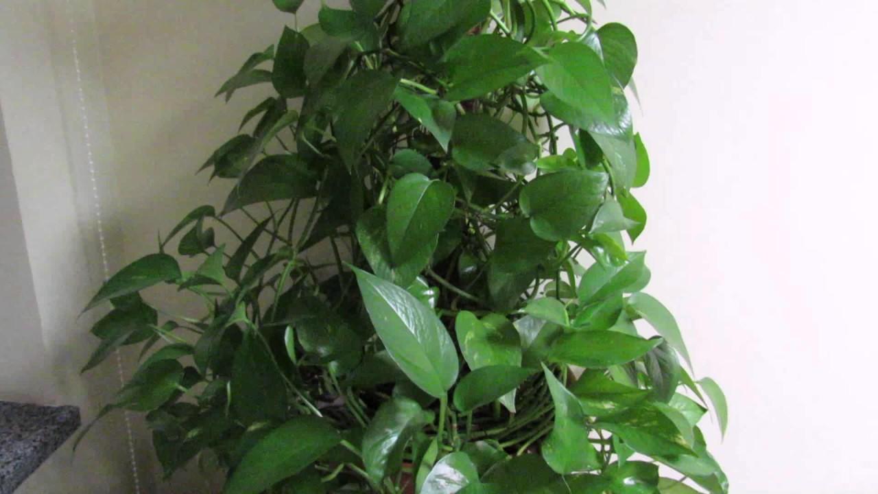Комнатная лиана сциндапсус: уход в домашних условиях, фото и нюансы выращивания популярного вида природного декора для квартир и домов
