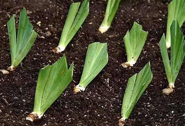 Ирисы: посадка и уход в открытом грунте (фото), болезни, сорта, размножение