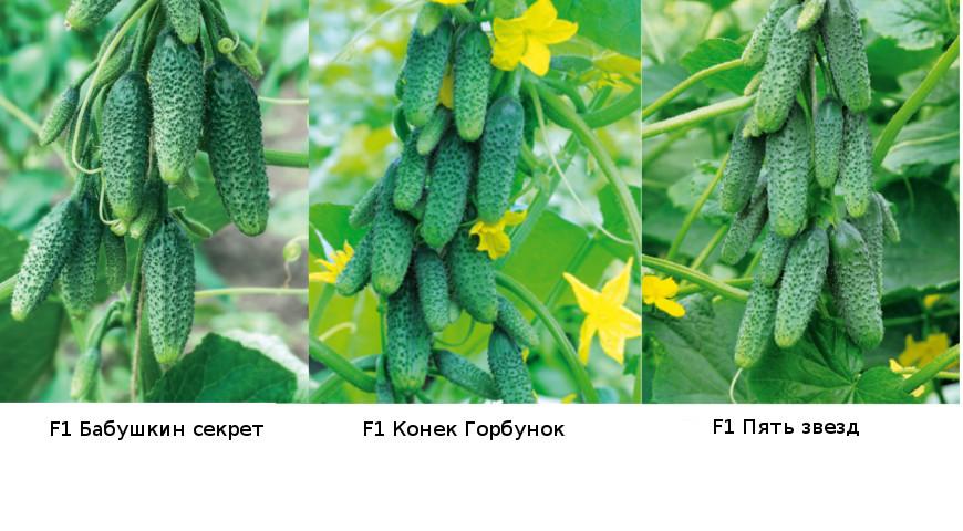Огурец бабушкин секрет f1 — описание и характеристика сорта