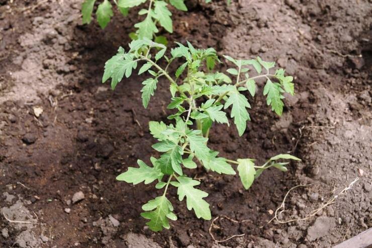 Томаты в теплице - организация бизнеса и обзор необходимых условий для выращивания томатов