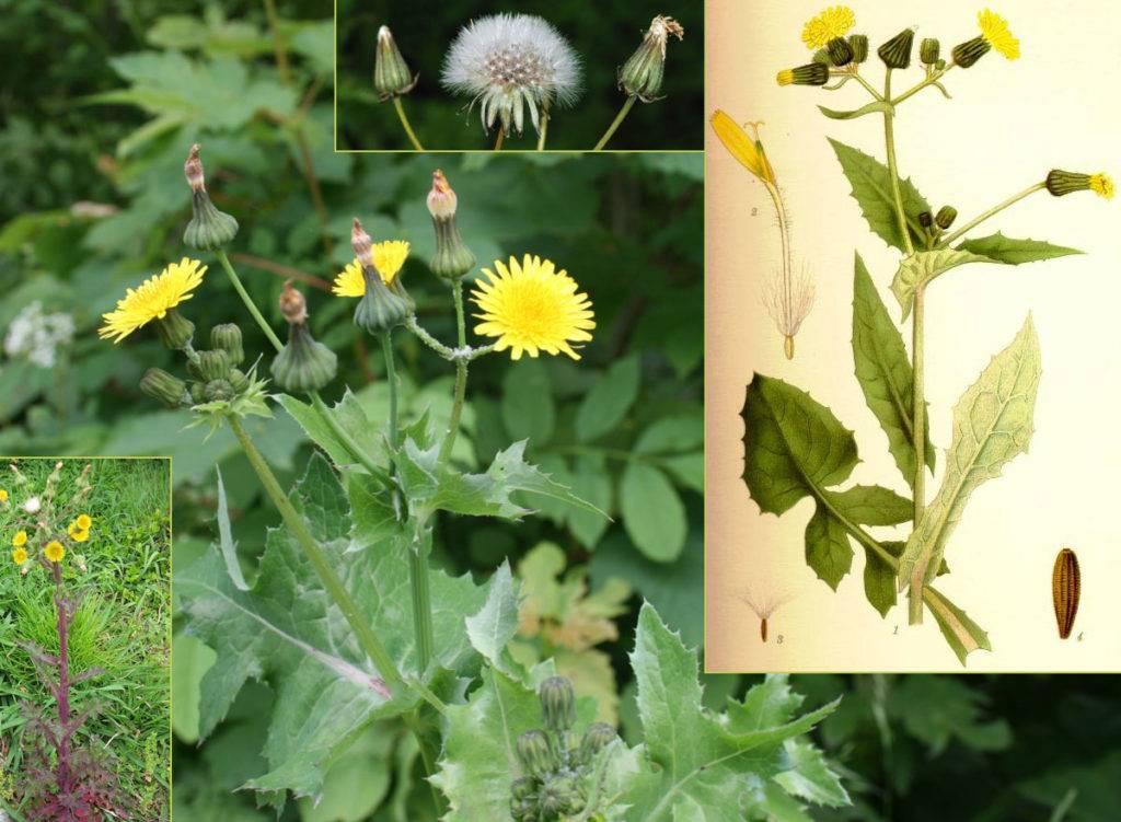 Рецепты лечения рака травой чистотела - общая медицина