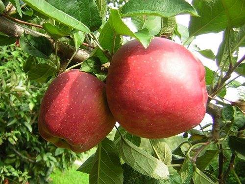 Саженцы яблоня ред чиф: описание сорта, фото. купить с доставкой в пвз или почтой россии.