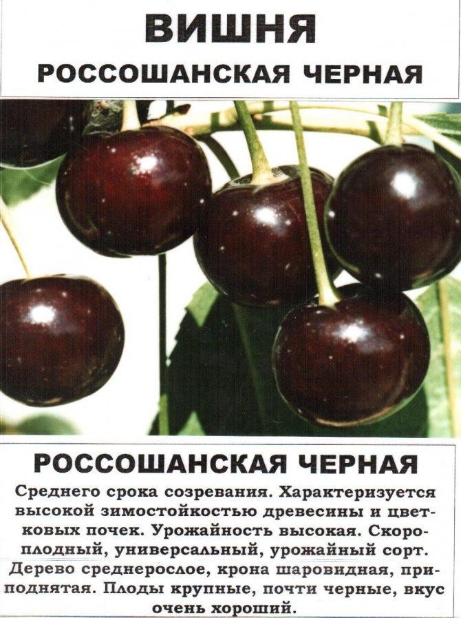 Лучшие высокоурожайные, самоопыляемые и низкорослые сорта вишен для любого региона россии. топ-5 лучших зимостойких вишен