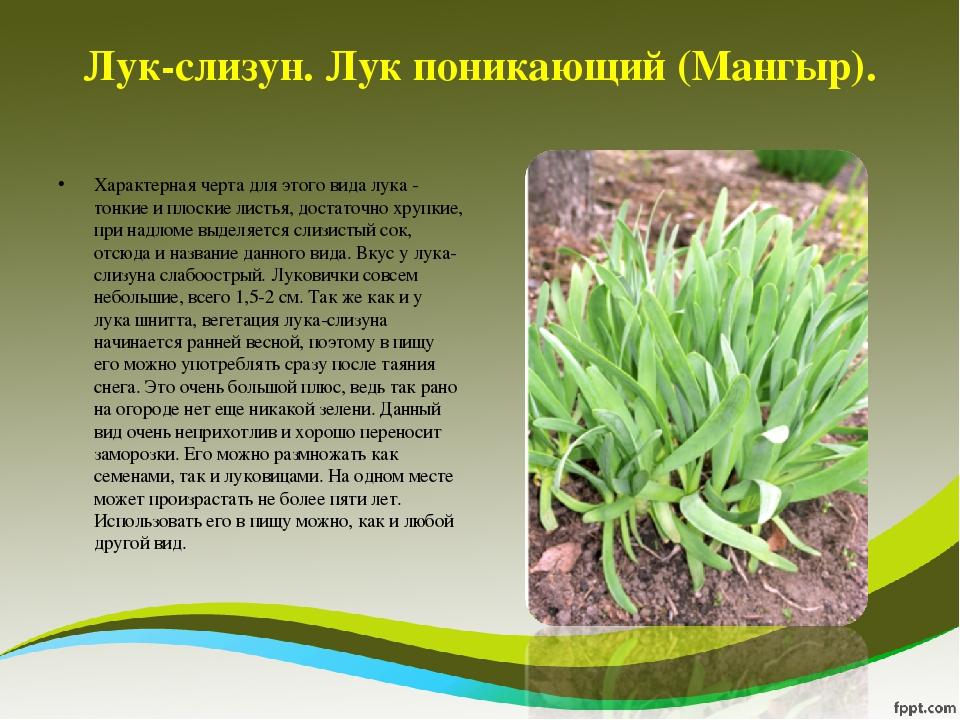Описание разновидностей и сортов дикого лука, тонкости выращивания