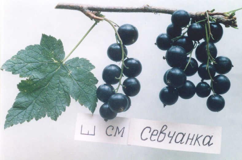 Описание сорта чёрной смородины селеченская: посадка и уход, фото и отзывы