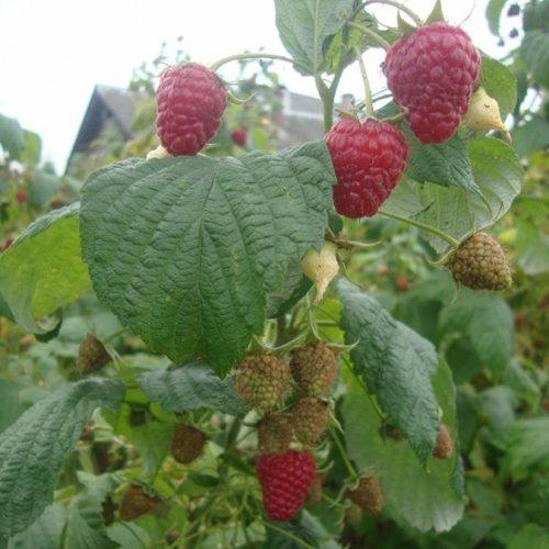 Описание сорта малины полька: посадка, уход и обрезка ремонтантной ягоды, описание с фото и видео
