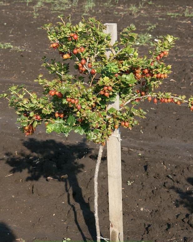 Штамбовые томаты: что это такое, лучшие сорта для открытого грунта и теплиц, ранние, урожайные и крупноплодные