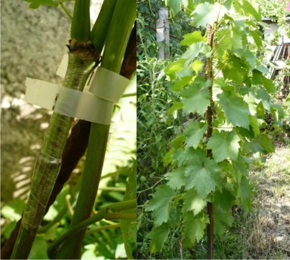 Прививка винограда весной видео, методы, сроки