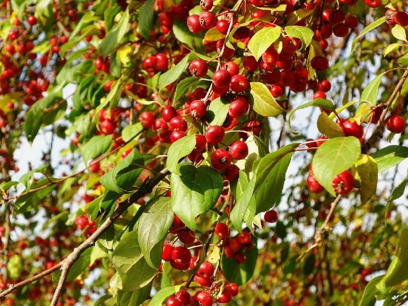 Описание сорта яблони ягодная: фото яблок, важные характеристики, урожайность с дерева