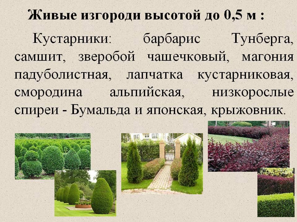 Особенности стрижки живой изгороди осенью
