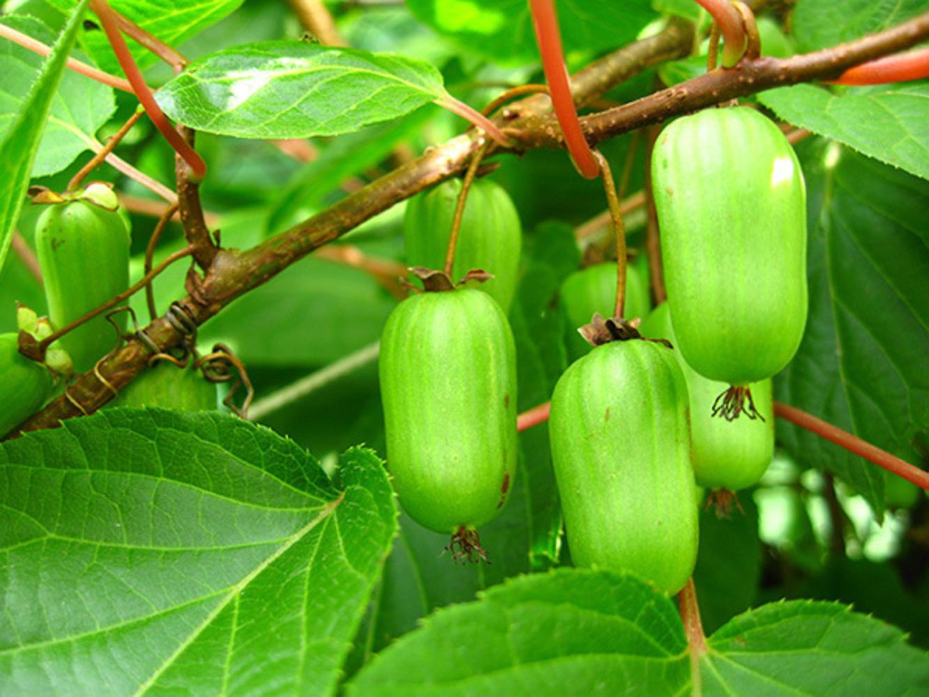 Актинидия: фото и виды, посадка и уход за растением