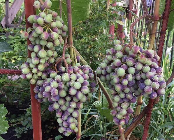 Описание сорта винограда зилга