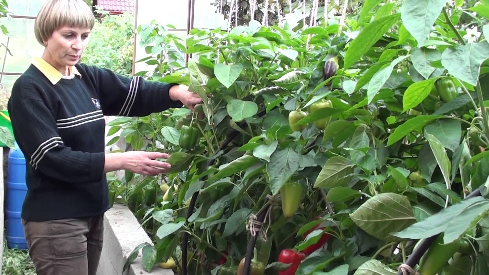 Выращивание острого перца