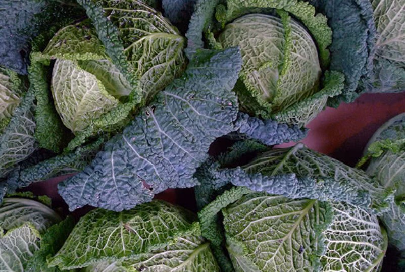 Савойская капуста: выращивание рассады, уход в открытом грунте, фото