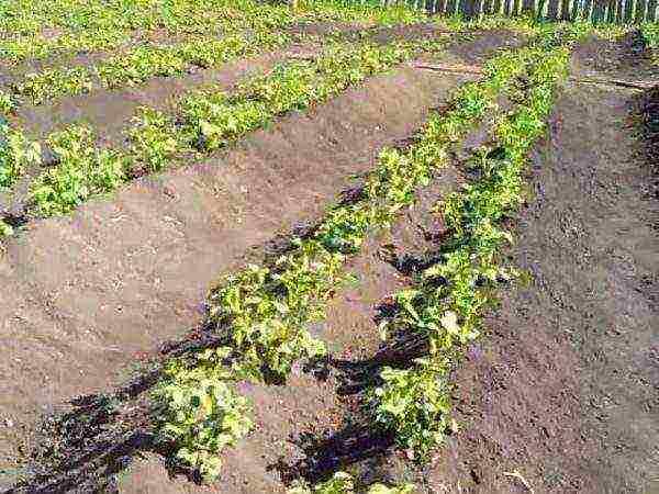 Посадка картофеля по голландской технологии – заморский опыт для вашей дачи