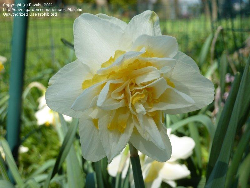 Растение нарцисс: фото, сорта, выращивание, посадка и уход в открытом грунте