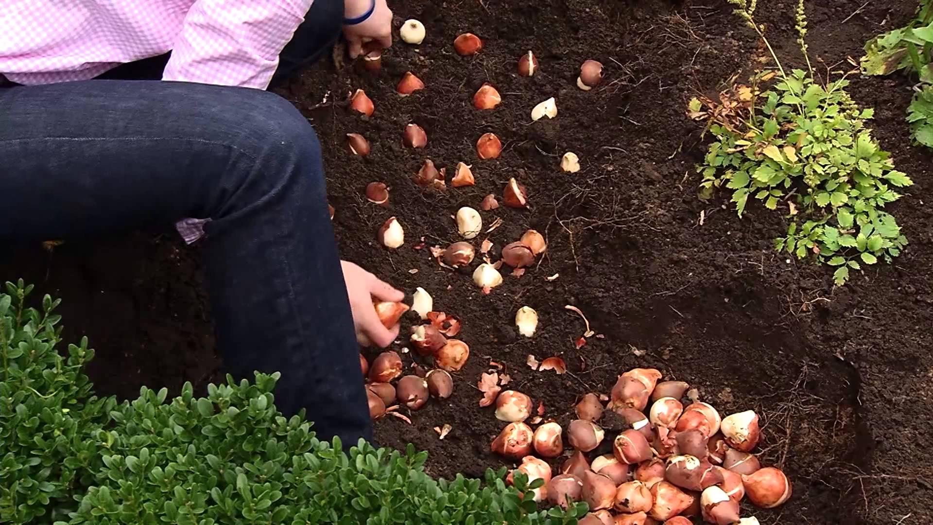 Когда сажать тюльпаны осенью в открытый грунт правильно?