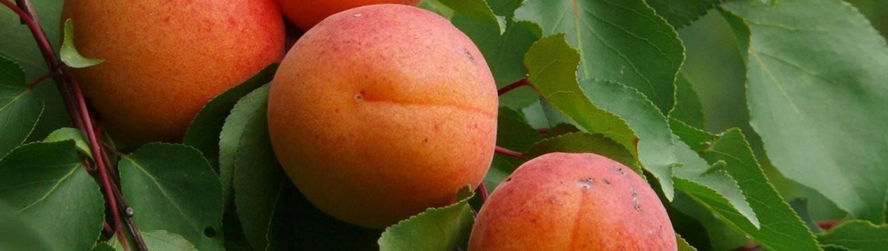 Сорта абрикосов фото с названием и описанием | продвижение сайтов в яндекс