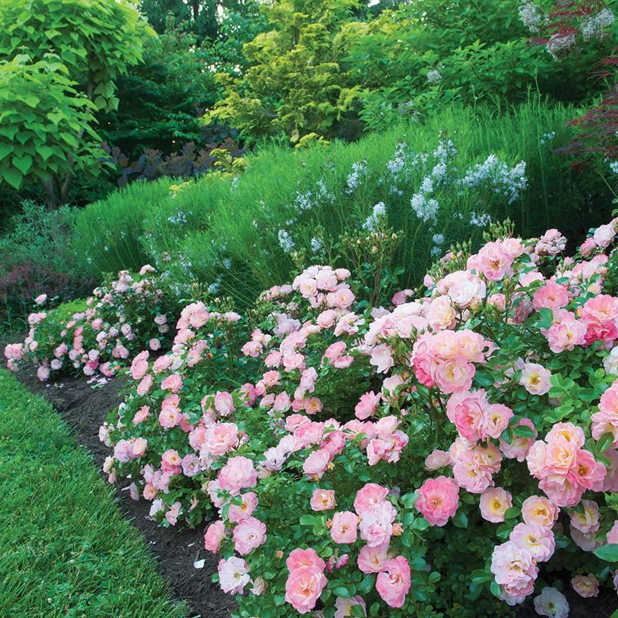 Почвопокровные розы: описание, особенности посадки и дальнейшего ухода, способы размножения + 10 лучших сортов