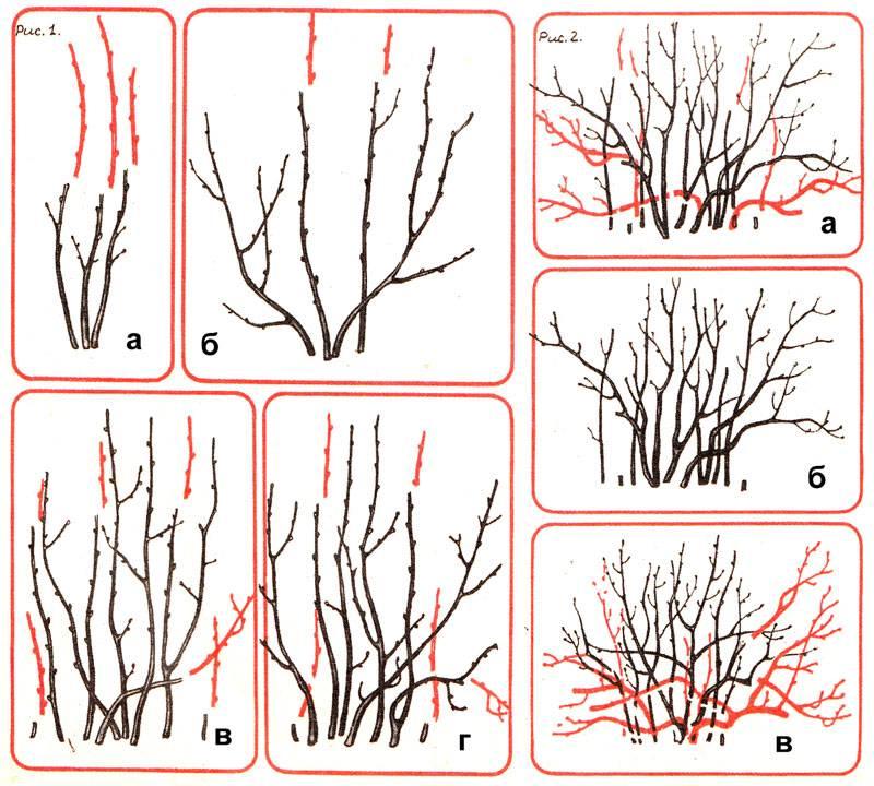 Как омолодить смородину: правила обрезки кустов осенью