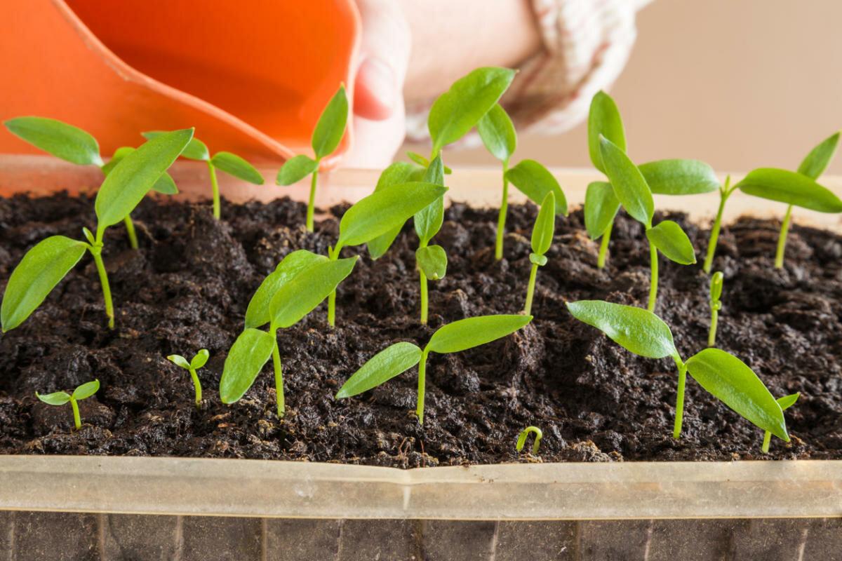 Правильная посадка и уход за фасолью в открытом грунте
