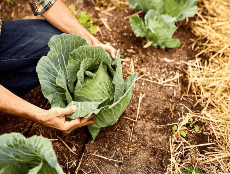 Чем подкормить рассаду капусты, чтобы она была толстенькой и крепкой