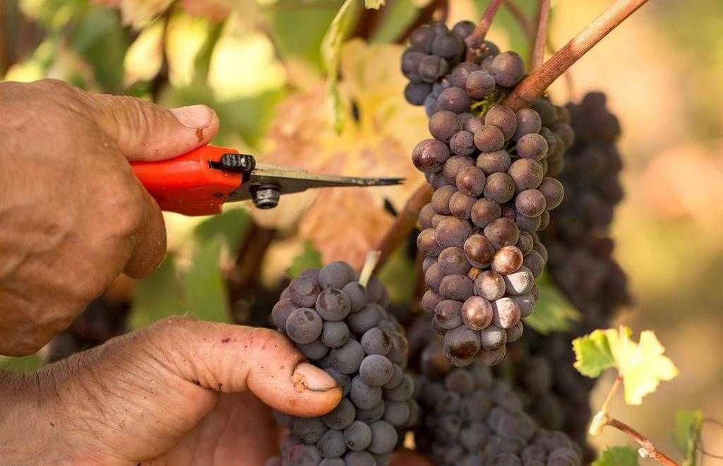 """Виноград """"атос"""": описание сорта, фото, отзывы"""