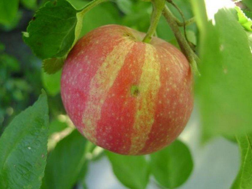 Яблоня летнее полосатое: описание, фото, отзывы