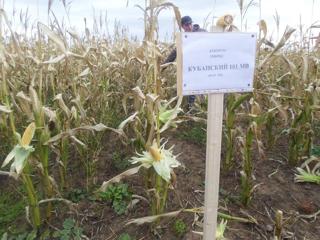 Норма высева кукурузы на 1 га в кг в открытый грунт на огороде, посадка и уход на дачном участке, а также когда и как сажать семена на даче в средней полосе?