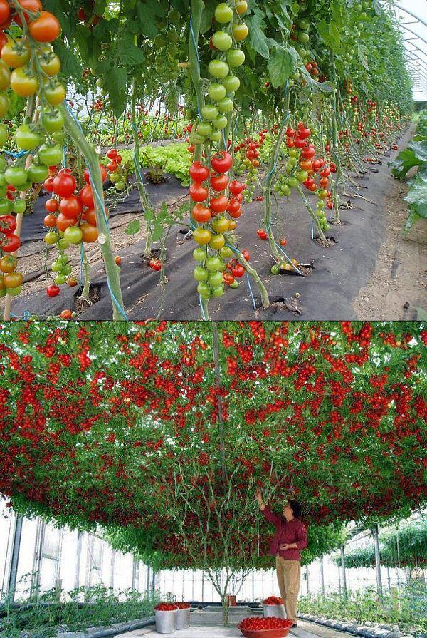 Штамбовые томаты: сорта с описанием, фото, отзывы
