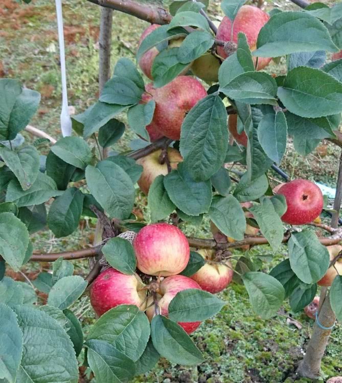 Описание сорта яблони коричное полосатое: фото яблок, важные характеристики, урожайность с дерева