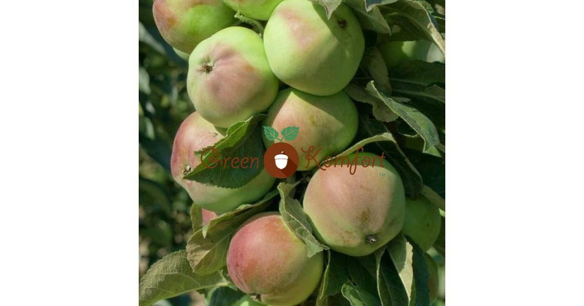 Колоновидная яблоня медок: выращивание и уход