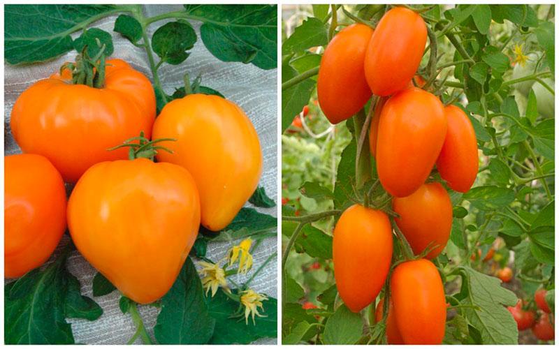 Томат золотое руно: описание сорта, характеристика, отзывы об урожайности, фото - все о помидорках