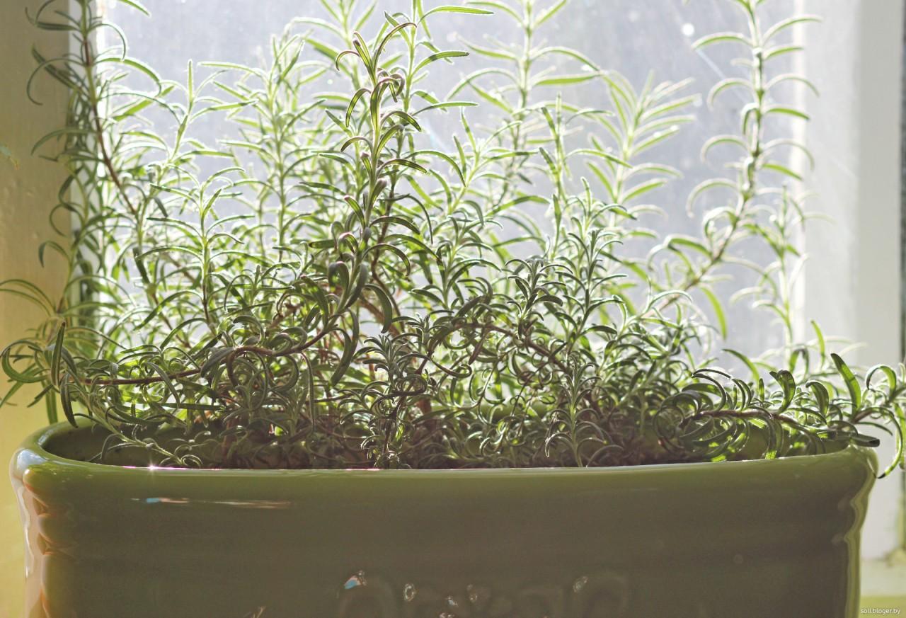 Розмарин выращивание дома в горшке на балконе или подоконнике, видео и фото