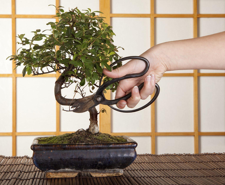 Как вырастить дерево бонсай в домашних условиях