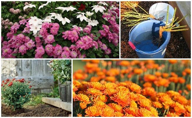 Пересадка хризантем: как лучше пересадить хризантему с одного места на другое летом, весной и осенью? как правильно пересаживать хризантемы в домашних условиях?